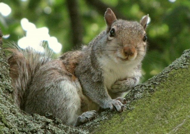 2011.06.19_gray_squirrel,_Kensington_Gardens,_London,_UK_008cc